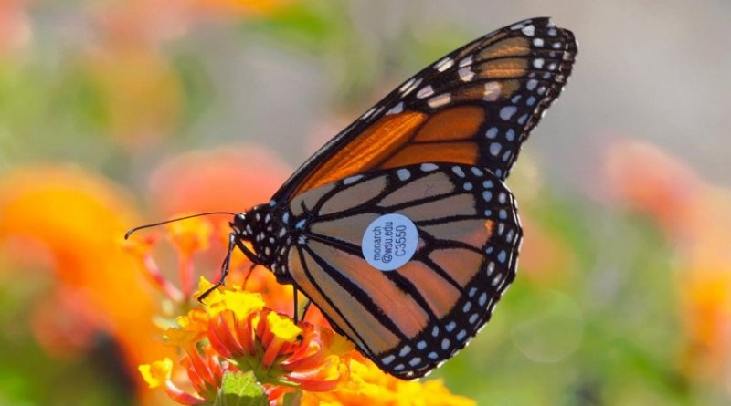 A Monarch butterfly with a WSU tracking tag on its wing. Sixty of these butterflies were found in the wild. This one in Avila Beach, Calif., located between Los Angeles and San Francisco. Credit WSU
