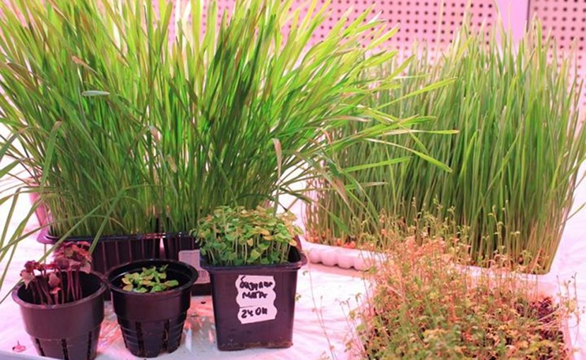 These are plants samples cultivated in the TPU phytotron Credit Tomsk Polytechnic University