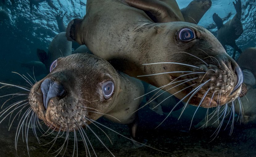 "Steller sea lions sometimes become entangled in fishing nets set for other species. Powerful new techniques for mapping of ocean mixing zones help identify ""hotspots of risk"" where this is most likely, helping fishermen avoid unintended bycatch. Credit Steve Woods"