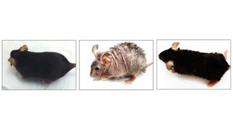 The mouse in the center photo shows aging-associated skin wrinkles and hair loss after two months of mitochondrial DNA depletion. That same mouse, right, shows reversal of wrinkles and hair loss one month later, after mitochondrial DNA replication was resumed. The mouse on the left is a normal control, for comparison. Credit UAB