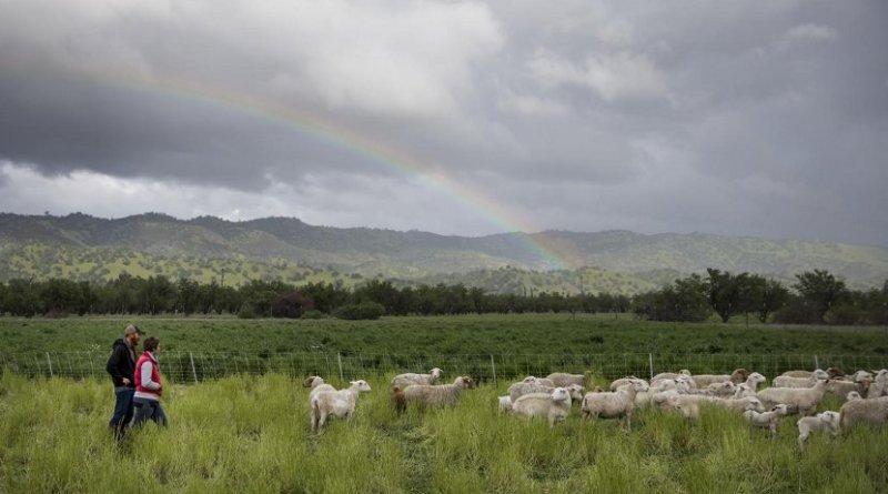 Sheep from Skyelark Ranch graze a field planted with a cover crop in Brooks, Calif. Credit Joe Proudman/UC Davis