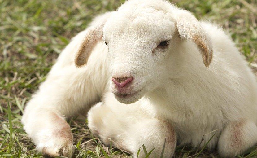 lamb sheep