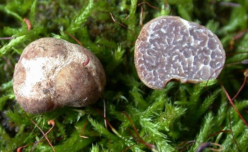 The Tuber brennemanii specimen on the left shows the rough, knobby exterior of the mushroom while the halved specimen on the right shows the interior. Credit Photo courtesy of Rosanne Healy