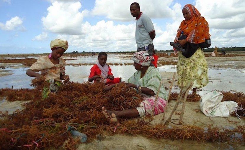 Seaweed farmers. Credit: Mwinyi Sadallah