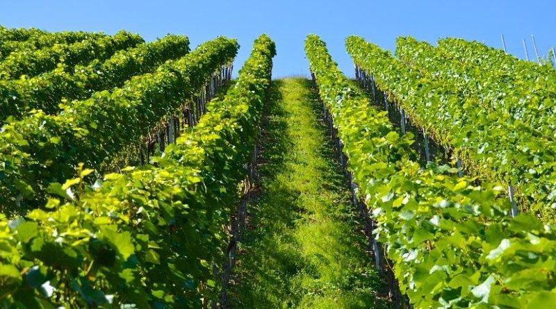 farm vineyard grapes