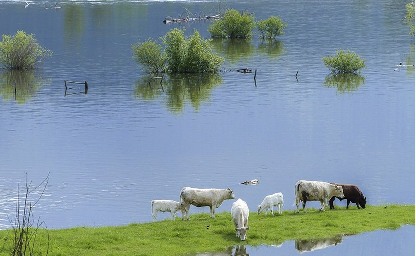 Cows in flooded farmland
