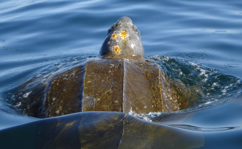 Leatherback sea turtles, a critically endangered species, may visit over 30 countries during their migrations. Credit Alex Eilers