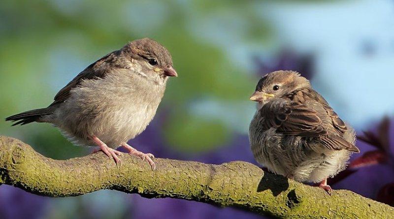 songbird sparrow