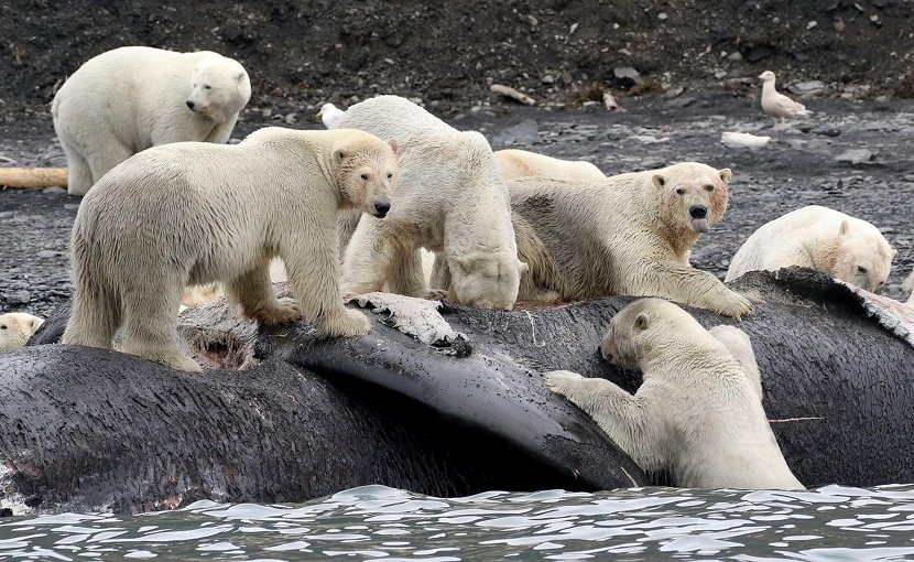 Polar bears are shown scavenging on the carcass of a dead bowhead whale that washed ashore on Wrangel Island, Russia. Credit Chris Collins/Heritage Expeditions