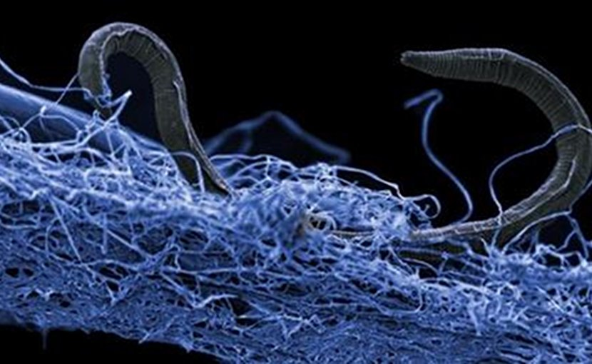 A nematode (eukaryote) in a biofilm of microorganisms. This unidentified nematode (Poikilolaimus sp.) from Kopanang gold mine in South Africa, lives 1.4 km below the surface. Credit: Image courtesy of Gaetan Borgonie (Extreme Life Isyensya, Belgium).