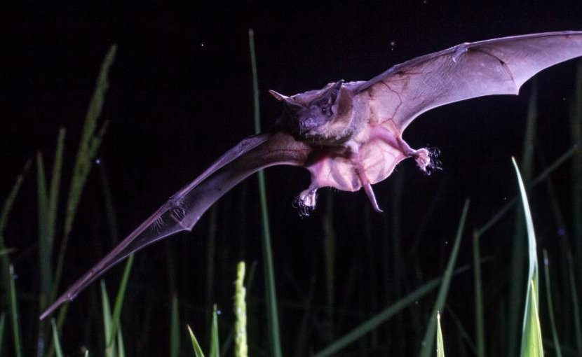 This is a Peters' wrinkle-lipped bat in flight over rice fields in Madagascar. Credit Adrià López-Baucells