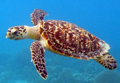 Hawksbill turtle nests are under threat from rising air temperatures. Credit Wikimedia Commons