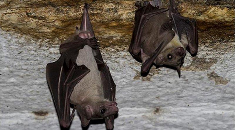 This is a Leschenault's rousette fruit bat (Rousettus leschenaultii) seen in a temple in Madurai, Tamilnadu, India. Credit Rajesh Puttaswamaiah, Bat Conservation India Trust