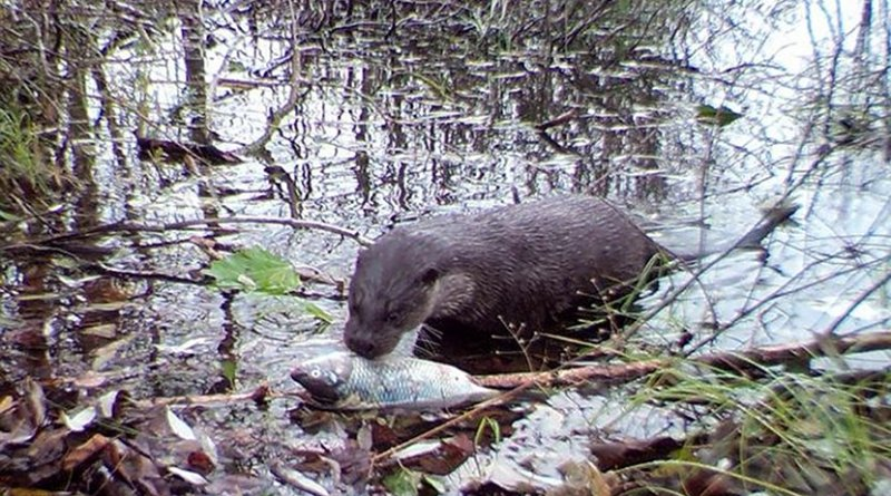 The rarely seen Eurasian otter preparing to feast in the canal. Credit UGA