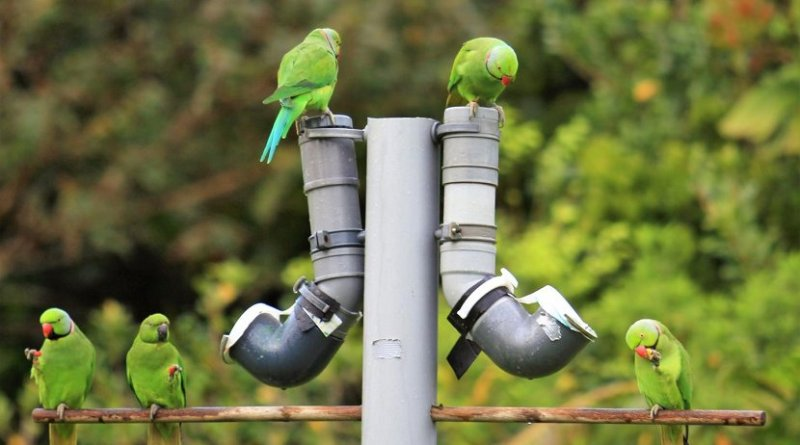 Parakeets at a feeding station Credit Deborah Fogell