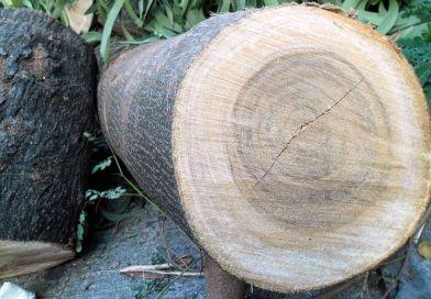 Leucaena leucocephala's wood and bark. Photo Credit: Earth100, Wikipedia Commons.