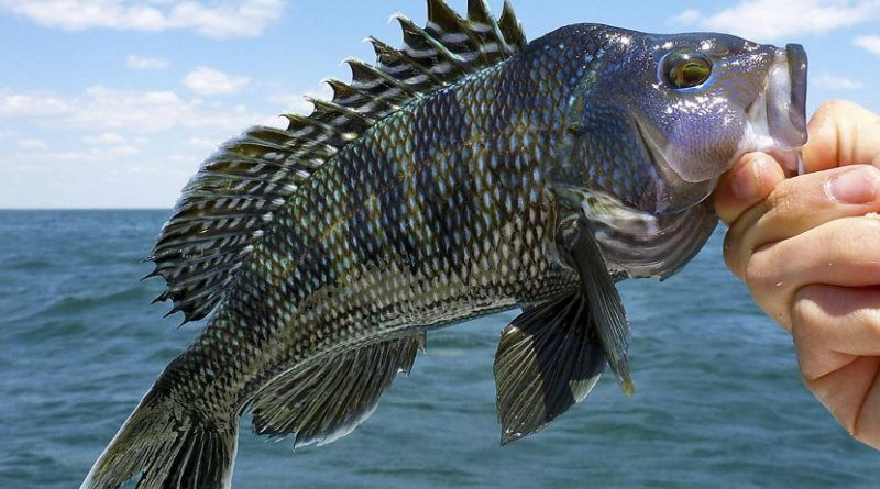 "Black sea bass are one of the climate change ""winners"" that have seen their productivity increase with warming ocean temperatures. Credit Orion Weldon"