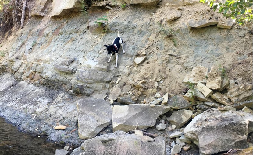 The author's 45-pound dog gives a sense of the size of the bedrock boulders being eroded from the side of the Teanaway River. The previous floodplain is just visible at the top of the frame. Credit Sarah Schanz/Indiana University