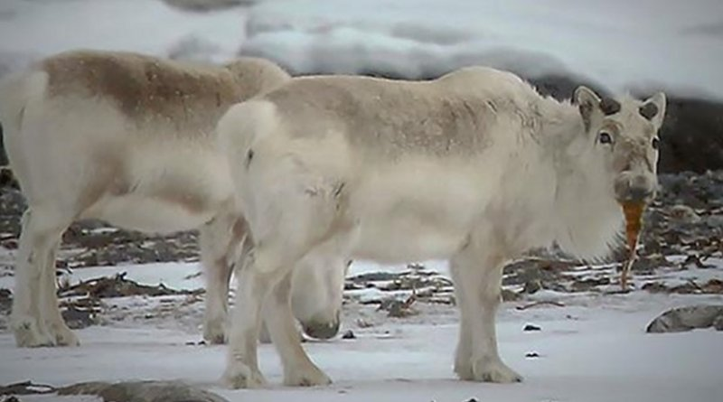 Yes, that reindeer is eating seaweed. But more than visible proof, researchers have studied stable isotopes in reindeer poop, which confirms that reindeer do eat seaweed. Credit Photo: Brage B. Hansen/NTNU