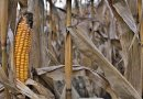 dry corn drought