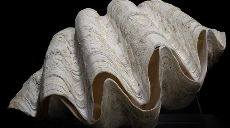 A giant Tridachna clam
