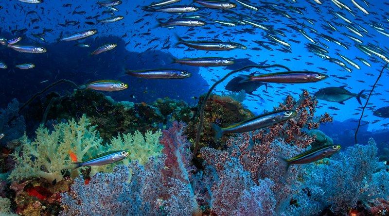Coral, Sudan. Credit Tane Sinclair-Taylor