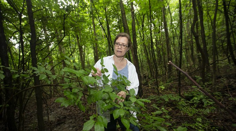 University of Cincinnati biology professor Theresa Culley is finding more Callery pear trees growing wild in Ohio forests. Some states like Ohio are phasing out the sale of the trees. Credit Joseph Fuqua II/UC Creative Services