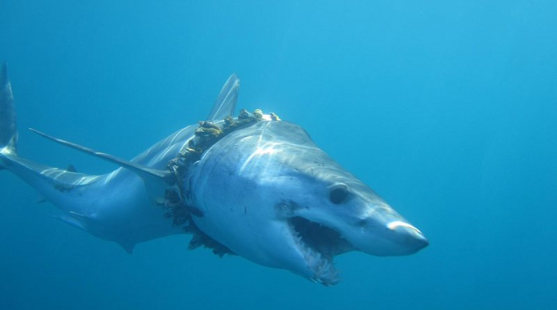 An adult shortfin mako shark entangled in fishing rope (biofouled with barnacles) in the Pacific Ocean, causing scoliosis of the back Credit Daniel Cartamil