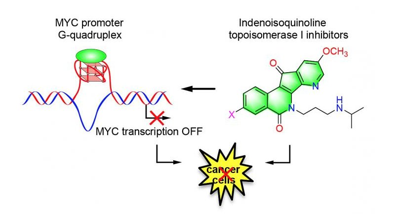 Purdue University researchers have discovered potential anticancer agents that stabilize the MYC promoter G-quadruplex and downregulate the expression of the MYC oncogene. Credit Purdue University/Danzhou Yang