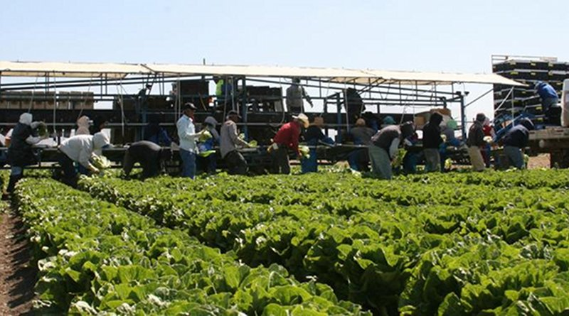 Workers processing greens in field studied. Credit Eric Brennan