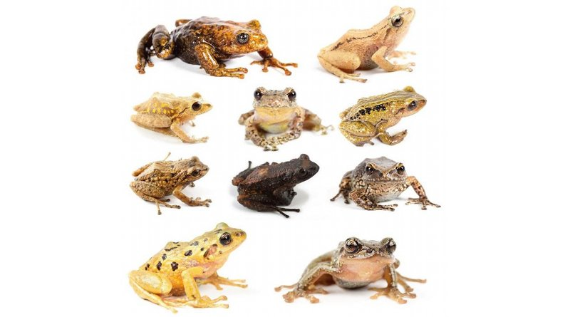 The Rain frogs comprise a unique group lacking a tadpole stage of development. Their eggs are laid on land and hatch as tiny froglets. Credit BIOWEB-PUCE