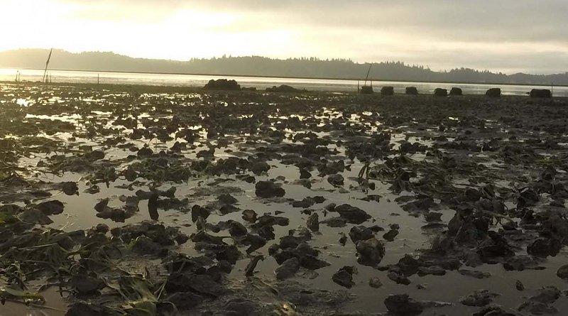Dawn in Willapa Bay in 2015, showing oysters on a tidal flat. Credit Jennifer Ruesink