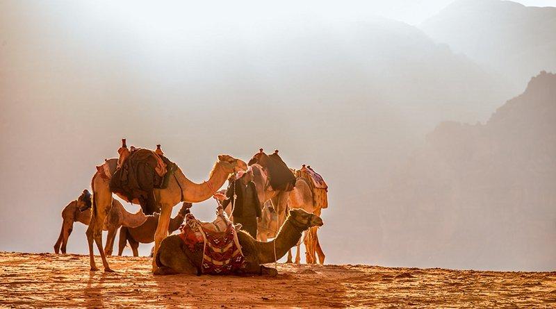 Camels in desert of Jordan