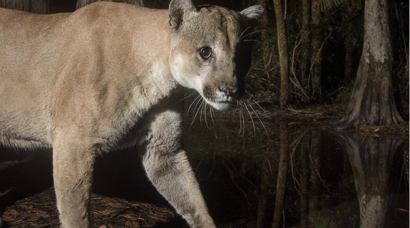 Scientists have pieced together the first complete picture of the Florida panther genome -- work that could serve to protect that endangered population and other endangered species going forward. Credit Photo courtesy of Carlton Ward Jr. @carltonward