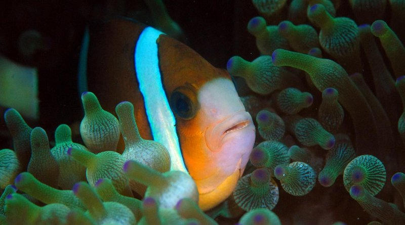 Great Barrier Reef anemonefish can see UV light and may use this to find anemones and other anemonefish. Credit Prof Justin Marshall, University of Queensland