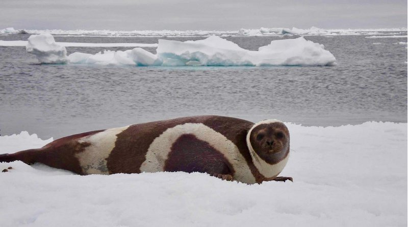 An adult male ribbon seal lays on the ice. CREDIT NOAA Fisheries, Polar Ecosystems Program