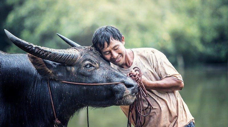 water buffalo cow man asia