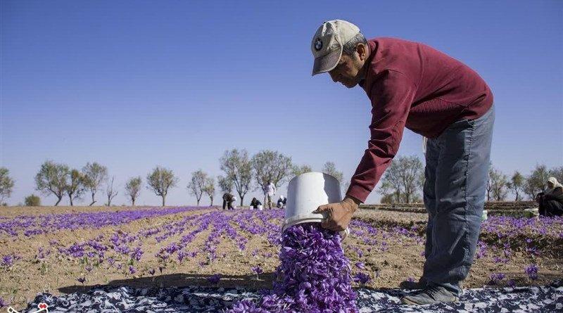 Saffron farmer in Iran. Photo Credit: Tasnim News Agency