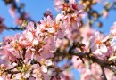 Tree Almond Blossom Bloom Nature Flowers Pink