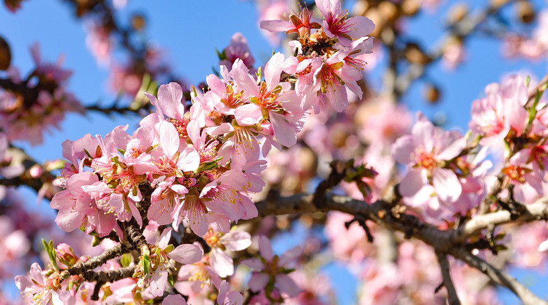 Tree Almond Blossom Bloom Nature Flowers Pink