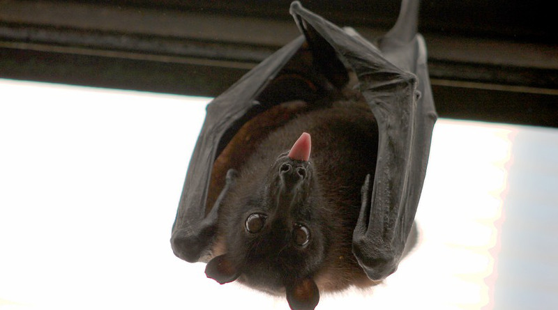 Bat Flying Fox Vampire
