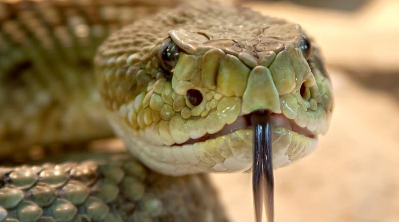 Rattlesnake Toxic Snake Dangerous Terrarium Viper