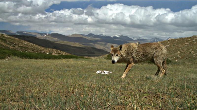 This is a Himalayan Wolf. Photo Credit: Geraldine Werhahn.