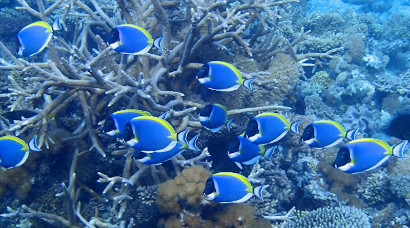 A school of powder blue tang in the coral reefs off East Africa. CREDIT T. McClanahan