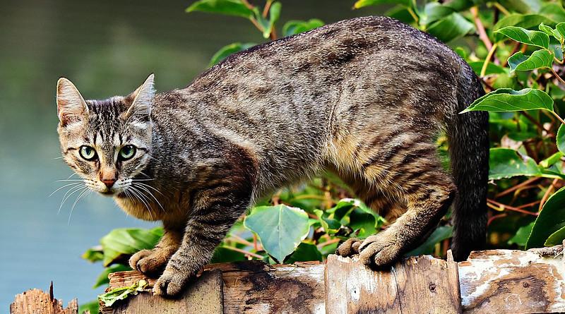 House Cat Animal Mackerel Feline Pet Domestic Fur Head