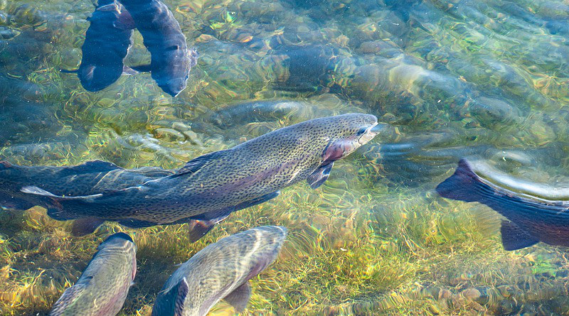 Trout Fish Breeding Trout Pond Fish Farming Water