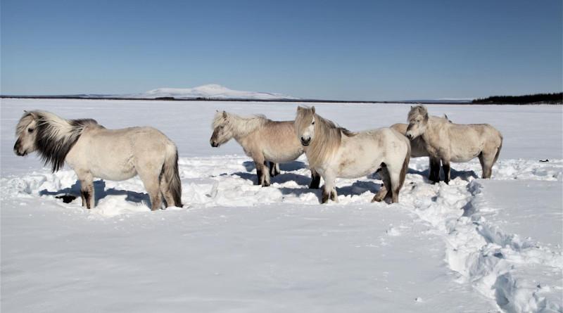 Horses at Pleistocene Park. Credit: Pleistocene Park