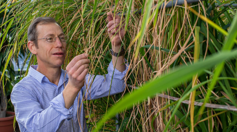 Biologist Kenneth M. Olsen tends rice in the Jeanette Goldfarb Plant Growth Facility at Washington University in St. Louis. CREDIT Joe Angeles/Washington University