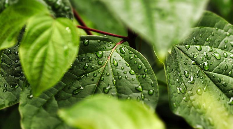 Leaves Drip Nature Leaf Water Rain Plant