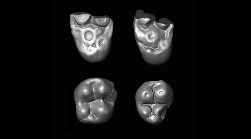 Tiny molar teeth of the parapithecid monkey Ucayalipithecus from the Oligocene of Perú CREDIT Erik Seiffert